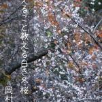 冬に咲き誇る冬桜の写真、「耐えること教える白き冬桜:岡村行雄」